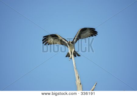 Osprey Perching