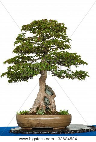 Old Trident Maple As Bonsai Tree Is Growing Over A Rock