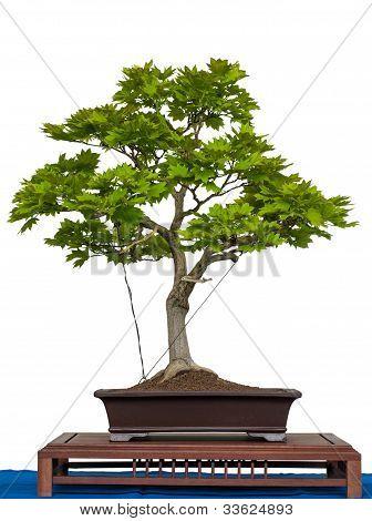 Acer Sirasawanum Aureum As Bonsai Tree