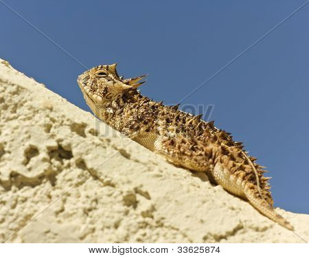 A Texas Horned Lizard On A Stucco Wall