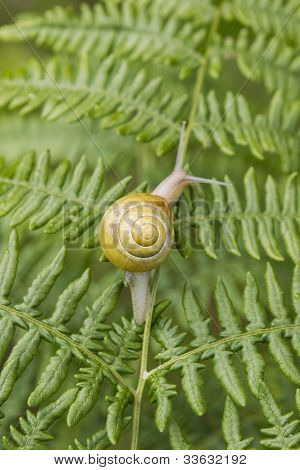 Garden Snail On Fern