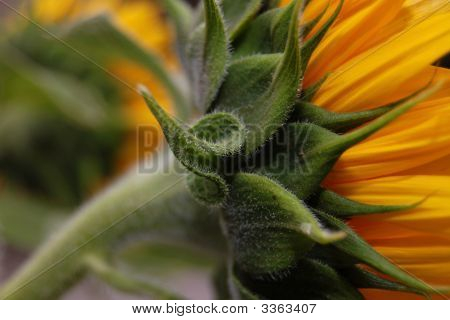Sunflower Calyx
