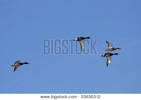 Anas platyrhynchos - Mallard - Wild Duck