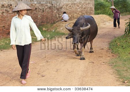 Vietnamese Woman walking water buffalo