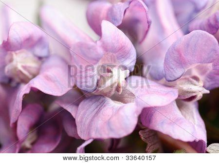 Flower Corydalis Halleri. Spring Close-up.