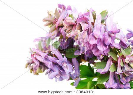 Flower Corydalis Halleri Isolated On  White