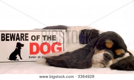 Cocker Spaniel Sleeping With Beware Of Dog Sign