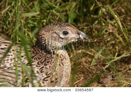 Young Pheasant.