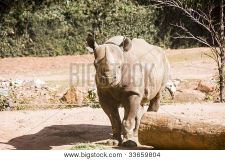 Rhinocerous By Log