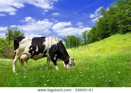 Cow On Beautiful Meadow