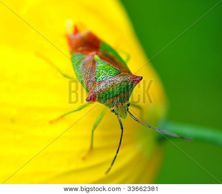 Hawthorn Shield Bug 1