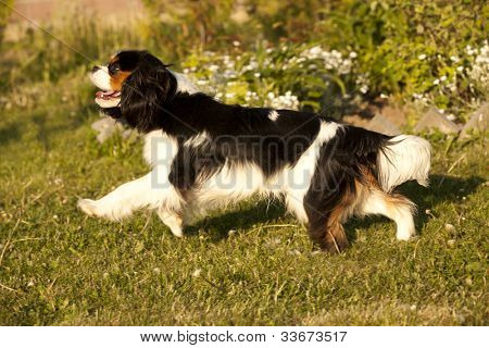 Cavalier King Charles spaniel , dog running through a meadow