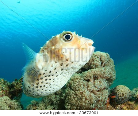 Yellowspotted Burrfish (Puffer or Porcupinefish)