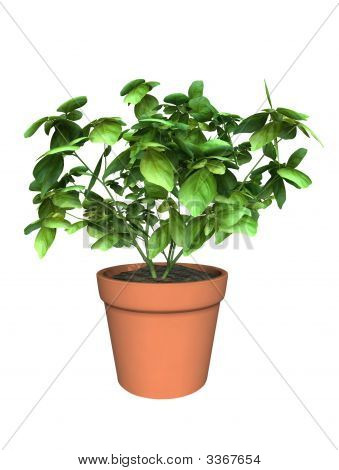 Basil Plant In Clay Pot