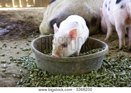 Baby Piglet In His Bowl Of Food
