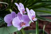Phalaenopsis Or Moth Dendrobium Orchid Flower. Purple Orchids Isolated On Blur Background. Butterfly poster