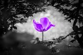 Purple Tulip Soul In Black White For Peace Heal Hope. The Flower Is Symbol For Power Of Life And Min poster