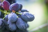 Cabernet Black Grape, Red Wine Made From Such Grapes. Cabernet Sauvignon Grapes. Winegrowers Grapes poster