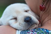 Woman holding her sleeping new puppy dog on her shoulders - close up on doggy face poster