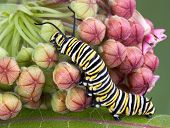 stock photo of monarch butterfly  - A monarch caterpillar is crawling on a flowering milkweed plant - JPG