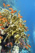 Colorful Coral Reef At The Bottom Of Tropical Sea, Yellow Fire Coral And Anthias Fishes, Underwater  poster