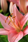 stock photo of asiatic lily  - Blooming flower petals of a pink Asiatic Lily in a green garden