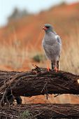 The Southern Pale Chanting Goshawk (melierax Canorus) Sitting On The Branch And Watching Around. The poster