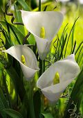 stock photo of calla  - Calla Lilies Rendered - JPG