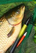 stock photo of fighter-fish  - The White Amur or Grass Carp  - JPG