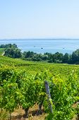 Green Vineyards On The Hill Above Neuchatel Lake In Switzerland. Photographed On A Sunny Summer Day. poster