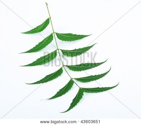 Indian Herbal / Medicinal Leaf On White Background