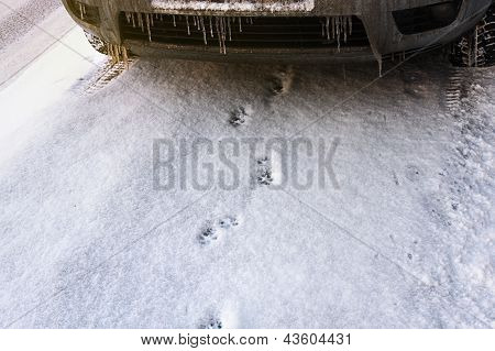 Traces Of Cat In The Snow