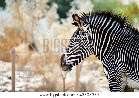 An Alert Zebra