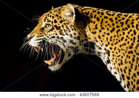 Jaguar rugiendo