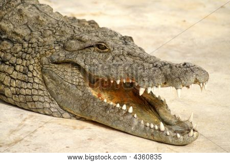 Dangerous Alligator