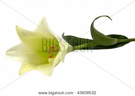 White Lilly Flower