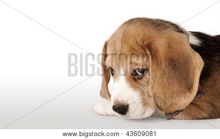 Beagle Puppy Portrait