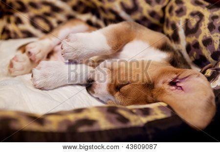 Sleeping Beagle Puppy