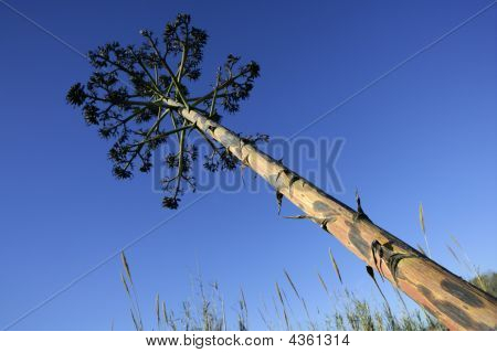 Agave, Pitera, Cactus From Mediterranean Sea Shore