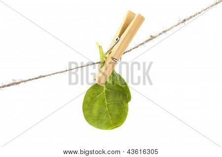 Spinach Leaves On Clothespin