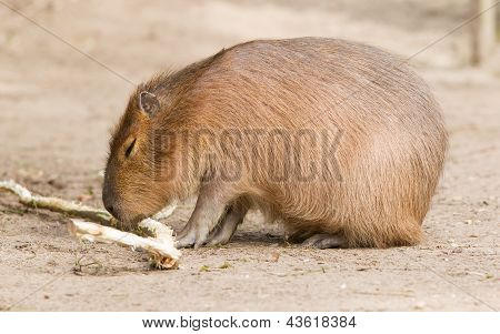 Capybara (hydrochoerus Hydrochaeris) Sitting In The Sand
