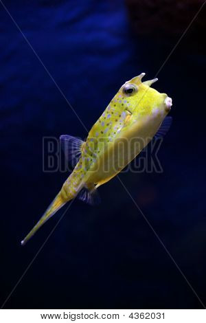 Tropical Fish - Lactoria Cornuta