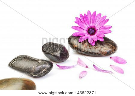 Stones For Massage And Flower Osteospermum On A White Background For A Spa.