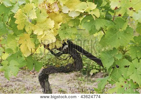 Grape Vine In Vineyard At Dorking. UK. England