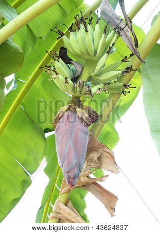 Growing Banana Blossom