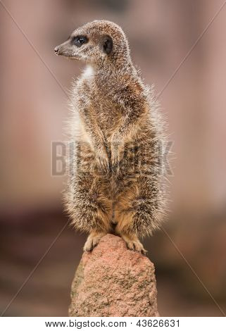 Alertness: Watchful Meercat On The Mound