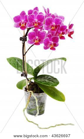 Pink Blooming Orchid In Flower Pot Isolated