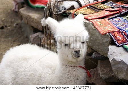 Baby Alpaca en un mercado Local peruano
