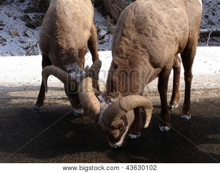 Big Horn Sheep at Big Sky, Montana