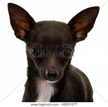 Chihuahua Face Close Up